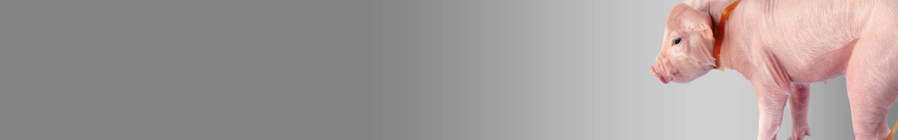Schweinezucht-und-Haltung592fc168b04f1