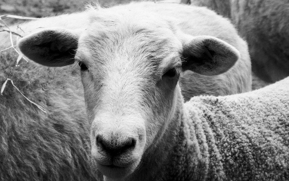sheep-1370668_1920