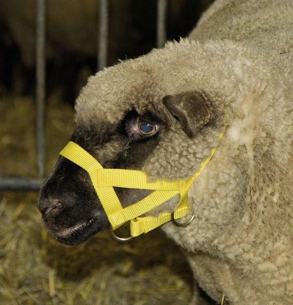 KERBL Kopfhalfter Nylon für Schafe und Böcke